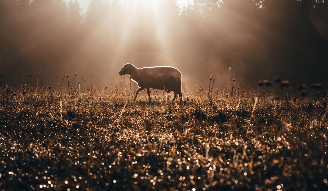 A sheep wandering through a golden, sunlit field