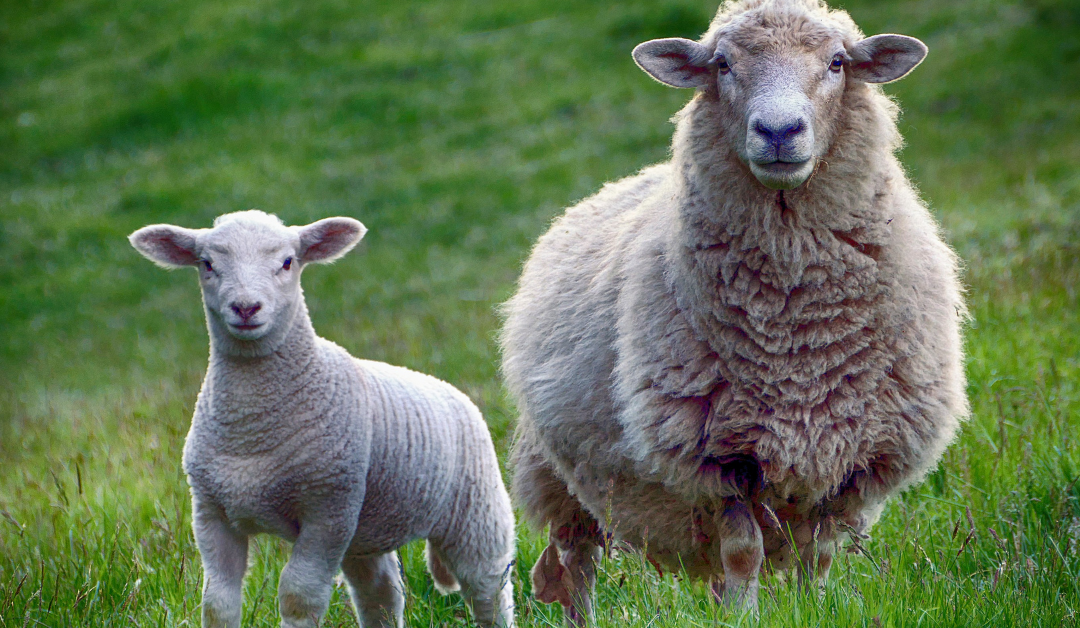Feeding the Sheep – How Faith and Repentance Change Everything
